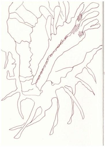 Gomphocarpus physocarpus - Ballonblume (c) Zeichnung von Susanne Haun