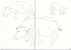 Berchtesgadener Land - Kühe in Oberau (c) Zeichnung von Susanne Haun