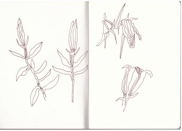 Enzian (c) Zeichnung von Susanne Haun