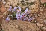 Kleine lila Blumen wachsen auf der Attika (c) Foto von Susanne Haun