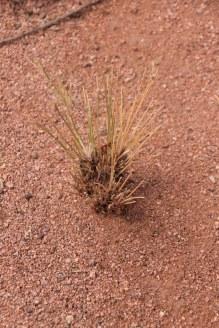 Gras wächst in der Namib Wüste - Namibia (c) Foto von Susanne Haun