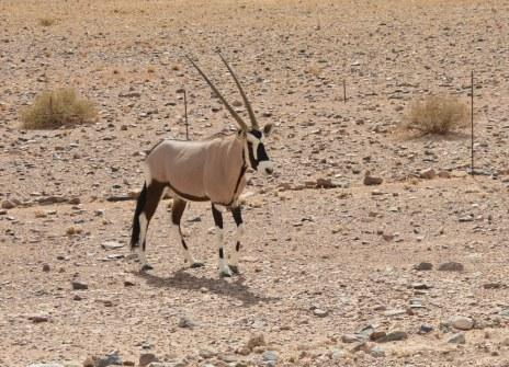 Der erst Oryx (c) Foto von M.Fanke