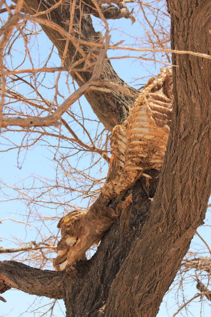 Teile eines von einem Löwen geschlagenen Tiers im Baum (c) Foto von Susanne Haun
