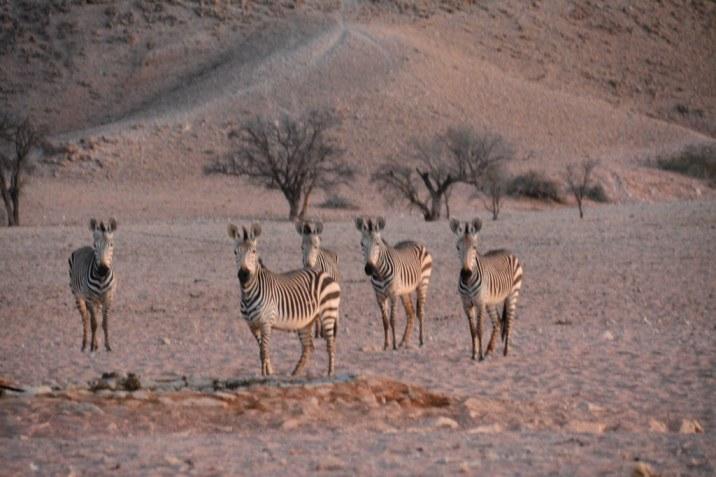 Am Morgen ziehn die Zebras wieder ihrer Wege (c) Foto von M.Fanke