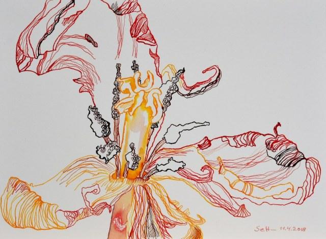 Verbluehte Tulpe in rot gelb - 23 x 31 cm - Tusche auf Burgung Hahnemuehle Aquarellkarton (c) Zeichnung von Susanne Haun