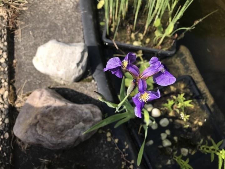 Lila Iris aus Papas Garten (c) Foto von Susanne Haun
