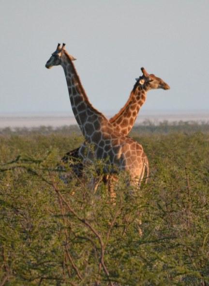 Giraffen im Etosha Nationalpark (c) Foto von M.Fanke