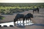 Gnus im Etosha Nationalpark (c) Foto von M.Fanke