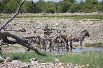 Zebras Etosha Nationalpark (c) Foto von Susanne Haun