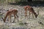 Antilopen im Etosha Nationalpark (c) Foto von Susanne Haun