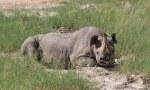 Nashorn im Etosha Nationalpark (c) Foto von Susanne Haun