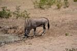 Springbock im Etosha Nationalpark (c) Foto von M.Fanke