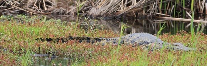 30 Krokodil im Okavango Delta Botswana (c) Foto von Susanne Haun (12)