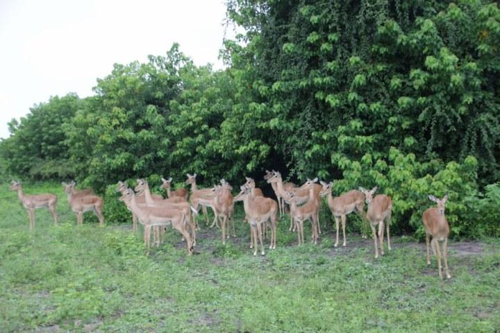 Auch im Chobe Park sind viele Antilopen zu sehen (c) Foto von M.Fanke