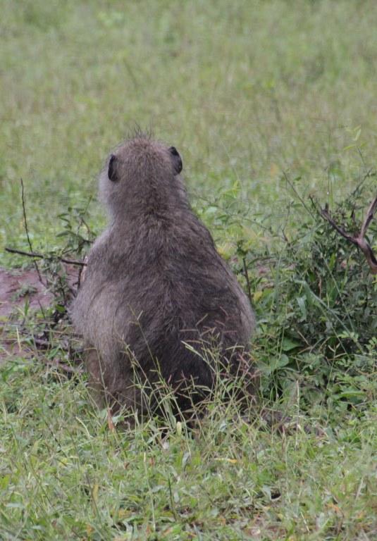 Auch Murmeltiere sind im Chobe Nationalpark in Botswana zuhause (c) Foto von Susanne Haun