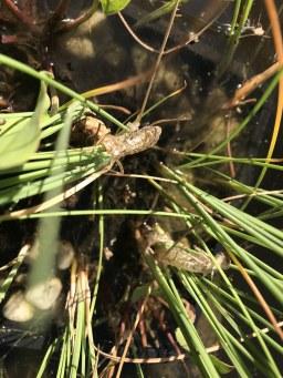 Libellenpuppen am Teich meines Vaters (c) Foto von Susanne Haun