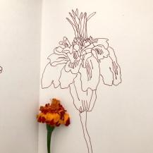 Tangetes aus dem Garten meines Vaters (c) Foto und Zeichnung von Susanne Haun