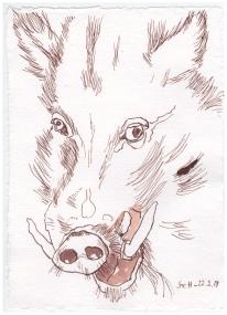 Wildschwein, 20 x 25 cm, Tusche auf Silberburg Büttenpapier, Zeichnung von Susanne Haun (c) VG Bild-Kunst, Bonn 2019