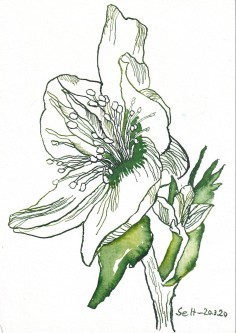 Christrose, 17 x 22 cm, Tusche auf Aquarellkarton, Zeichnung von Susanne Haun (c) VG Bildkunst, Bonn 2020