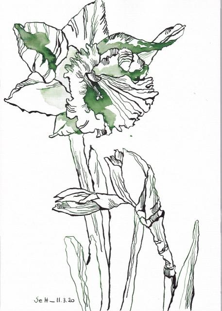Narzissen, 29,5 x 21 cm, Tusche auf Aquarellkarton, Zeichnung von Susanne Haun, Blog (c) VG Bild-Kunst, Bonn 2020