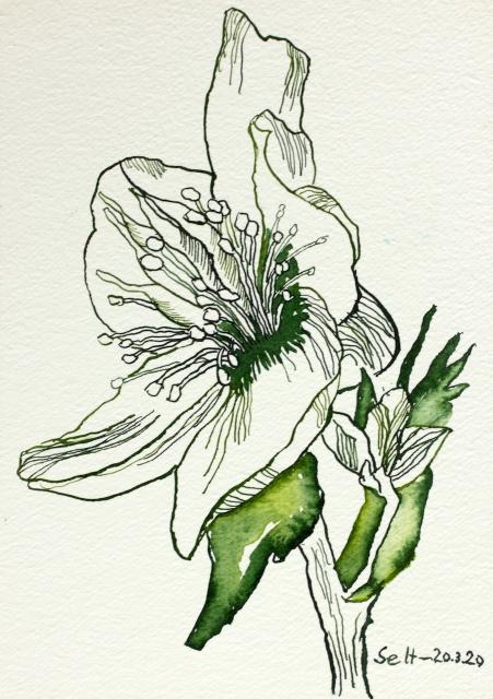 Wilde Rose, 24 x 17 cm, Tusche auf Aquarellkarton (c) Zeichnung von Susanne Haun