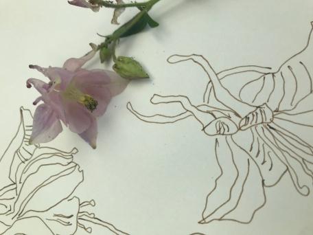 Akelei, Zeichnung von Susanne Haun (c) VG Bild-Kunst, Bonn 2020